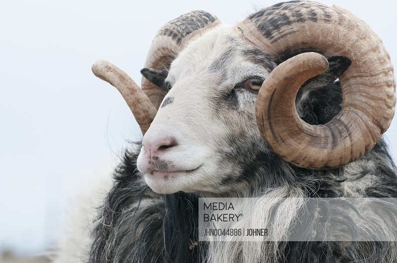 Headshot of sheep Gotland Sweden