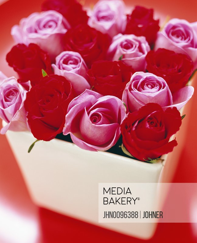 Red and pink roses