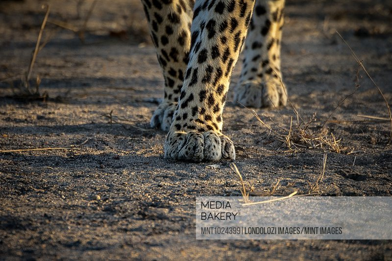 A close-up of a leopard's, Panthera pardus, legs and paws.