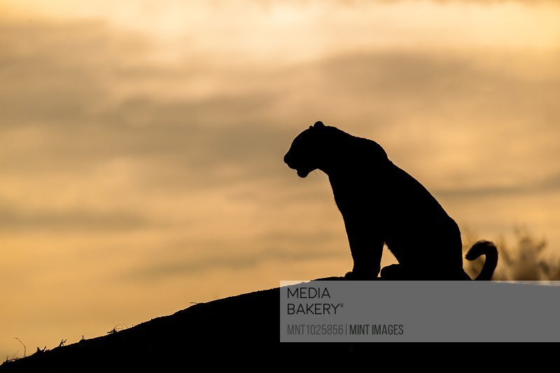 The silhouette of a leopard, Panthera pardus, sitting on a mound, sunset sky