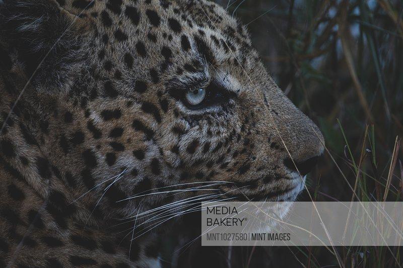 Close up of Leopard's head Panthera pardus at dusk.