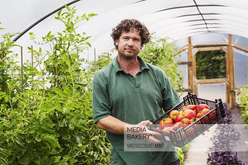 Male gardener in a polytunnel and a crate of freshly picked tomatoes.