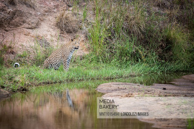 A leopard, Panthera pardus, sits in green grass at the edge of water, looking away