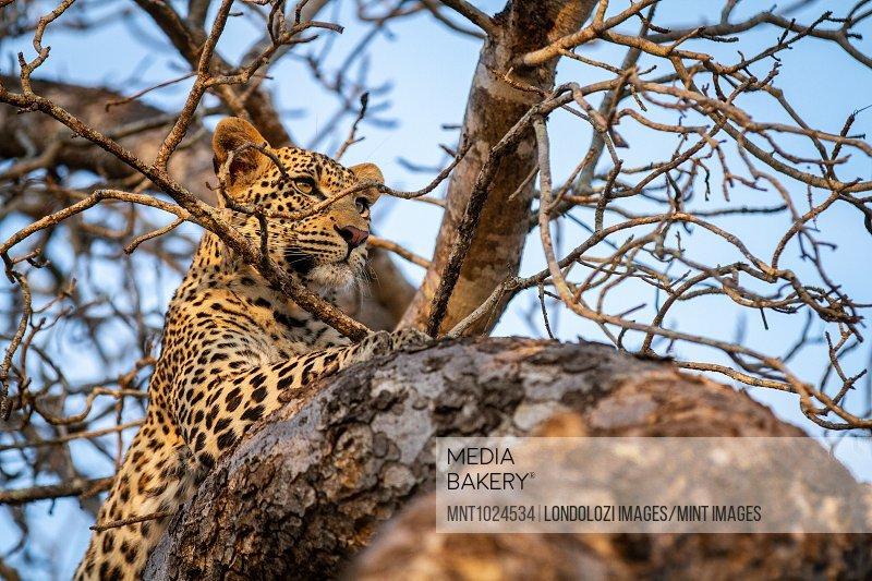 A leopard, Panthera pardus, lies in a tree, ears forward, alert.