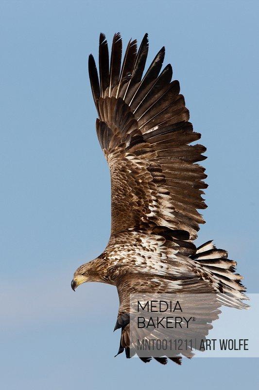 Common buzzard in flight Hokkaido Japan