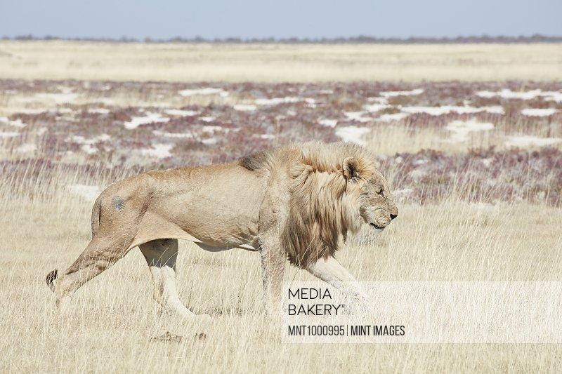 Lion, panthera leo, walking through grassland.