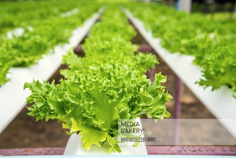 Plants lettuces growing in hydroponic trays in a polytunnel.