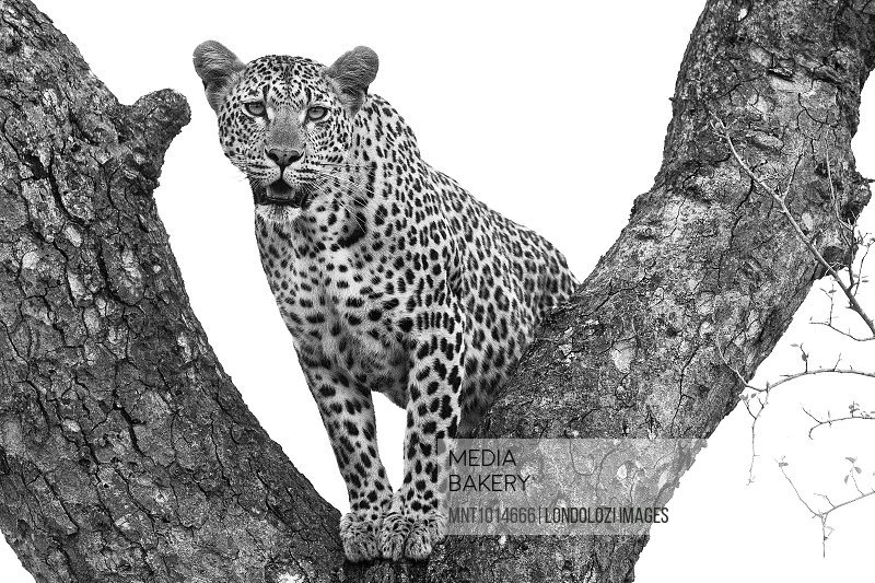 A leopard, Panthera pardus, stands in the fork of a tree, alert, mouth open, in black and white