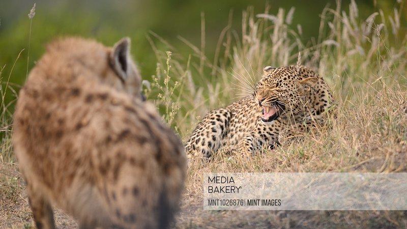 A leopard, Panthera pardus, lies in grass and snarls at a hyena, Crocuta crocuta