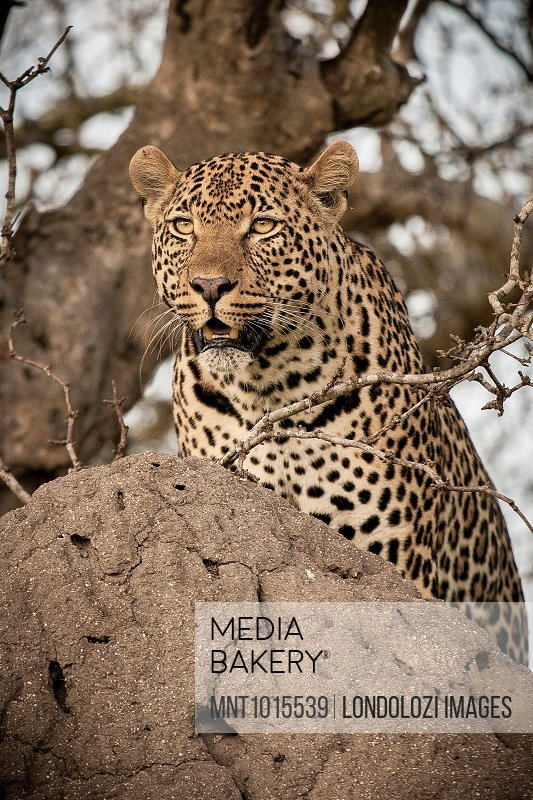 A leopard, Panthera pardus, on a termite mound, looking around.