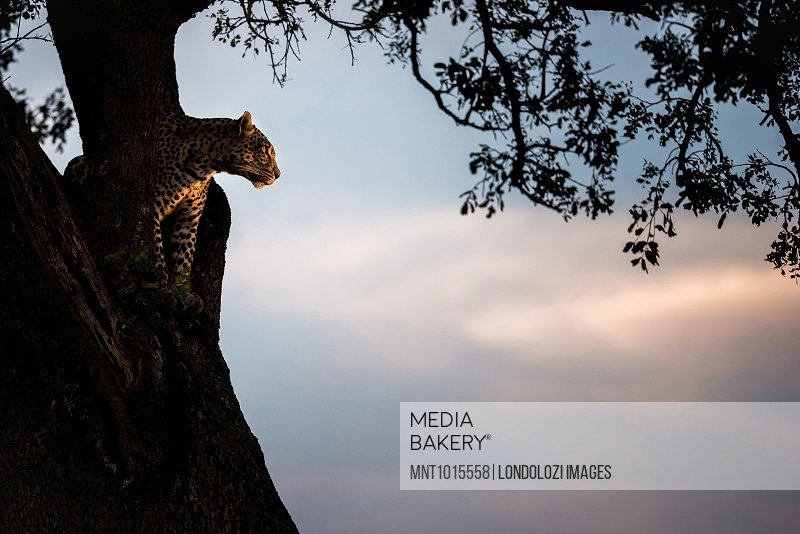 A leopard, Panthera pardus, sits in the fork of a tree at sunset.