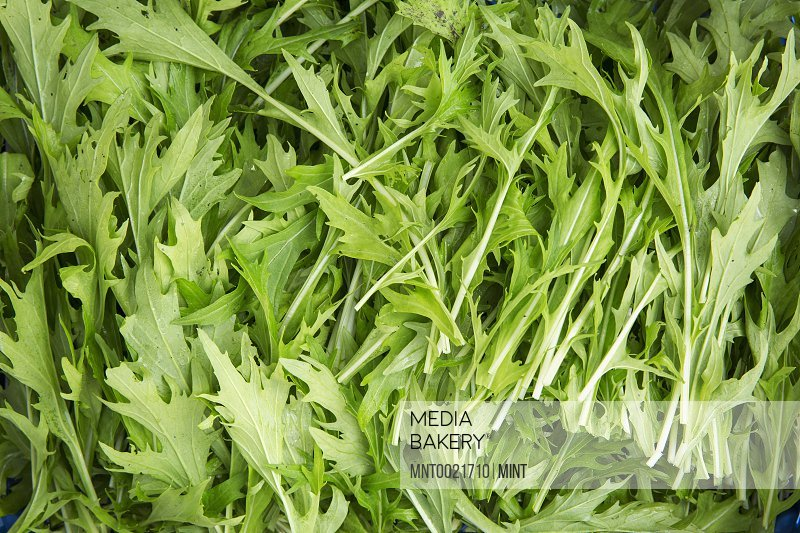 Fresh green sprigs of rocket leaves for the table