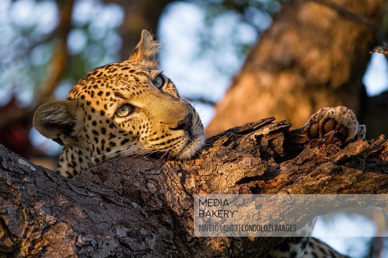 A leopard's head and front paw, Panthera pardus, resting head on tree branch, soft light