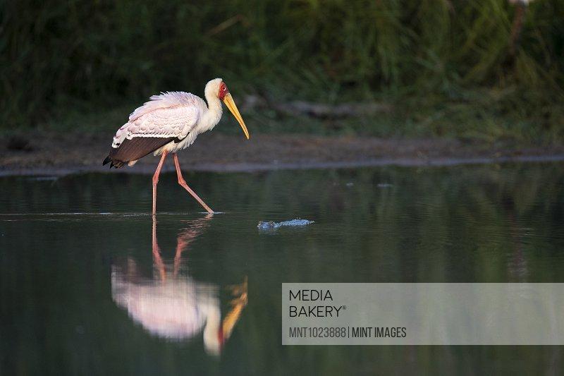 A yellow-billed stork, Mycteria ibis, walks through water showing its reflection, leg raised, side profile