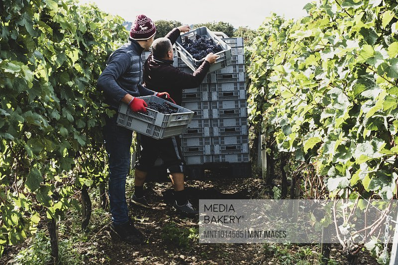 Two men standing in a vineyard, harvesting bunches of black grapes, stacking grey plastic crates.