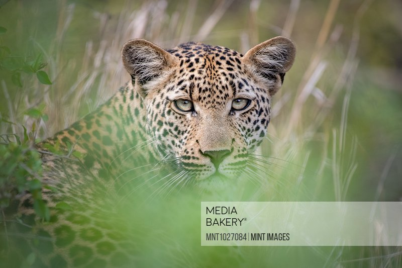 A leopard, Panthera pardus, lies in the grass, direct gaze, ears up, greenery in foreground