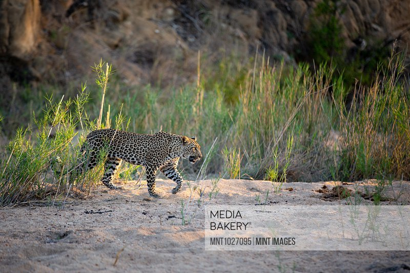 A leopard, Panthera pardus, walks through a sand bank, front leg raised, looking out of frame, sunlight