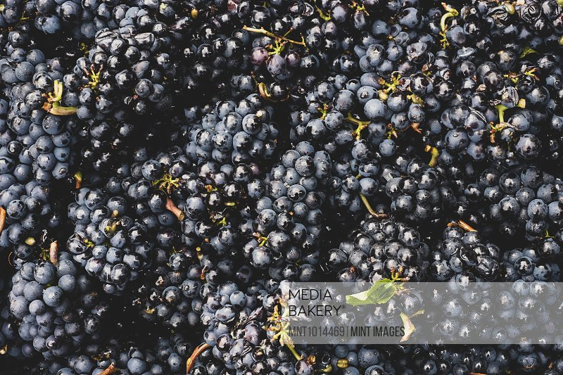 High angle close up of freshly picked bunches of black grapes at a vineyard.