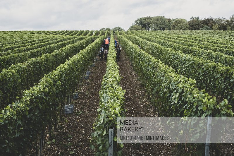 View along rows of vines on a vineyard with people picking grapes in the mid distance.