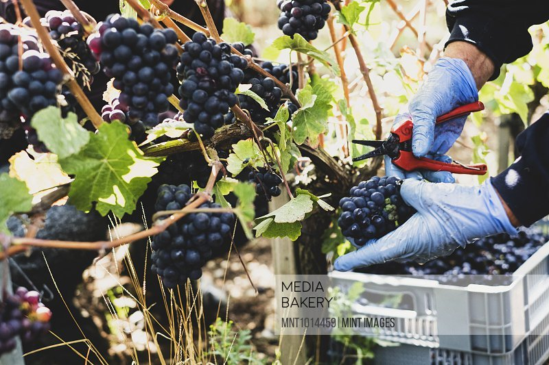 Close up of person wearing rubber gloves and holding secateurs harvesting bunches of black grapes in a vineyard.
