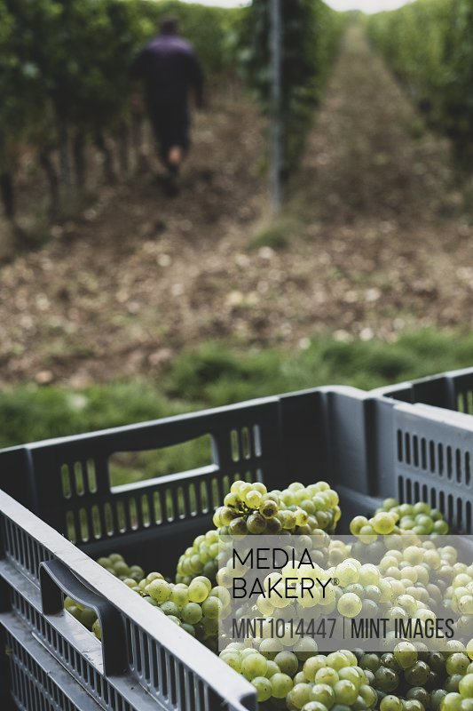 Close up of stack of grey plastic crated with freshly picked green grapes at a vineyard.
