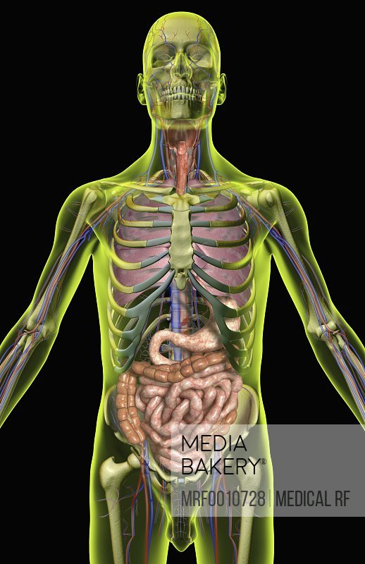 Mediabakery Photo By Medical Rf An Anterior View Of The