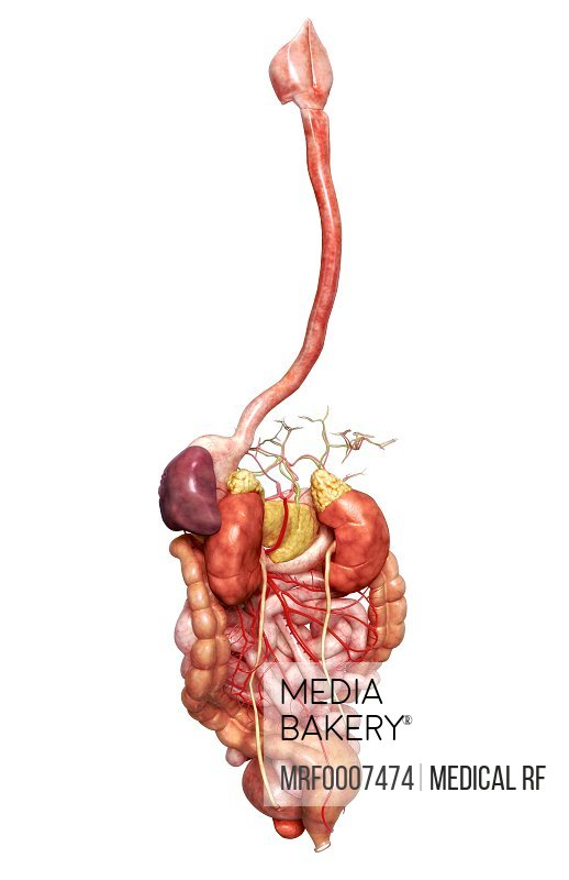 Mediabakery Photo By Medical Rf A Posterolateral View Left Side