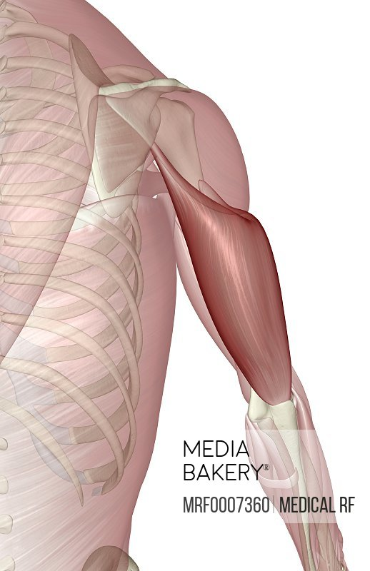 Mediabakery Photo By Medical Rf A Posterior View Of The Muscles