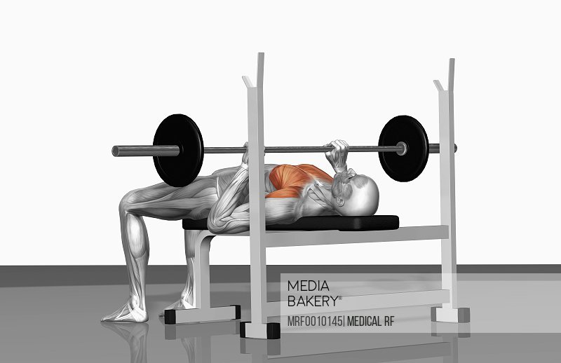 Peachy Photo By Medical Rf The Muscles Involved In Bench Press Exercises The Agonist Active Muscles Are Highlighted Lamtechconsult Wood Chair Design Ideas Lamtechconsultcom