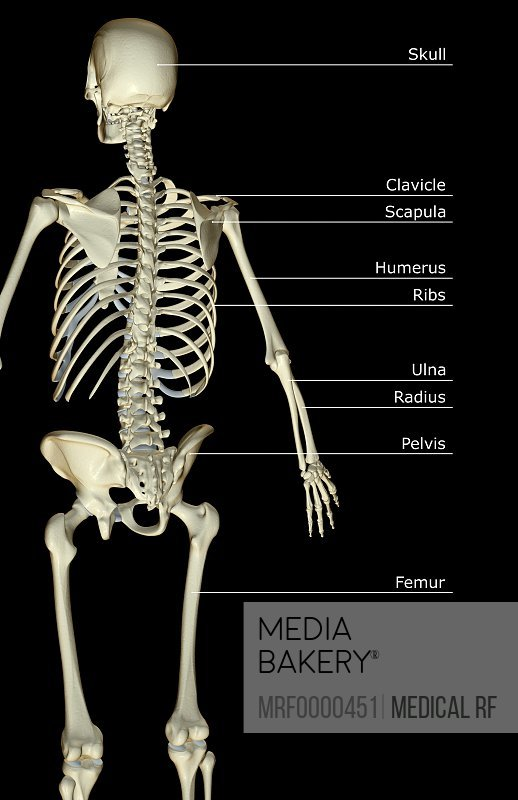 Mediabakery - Photo by Medical RF - An anterior view of