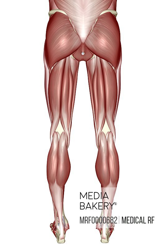 Mediabakery - Photo by Medical RF - A posterior view of the muscles ...