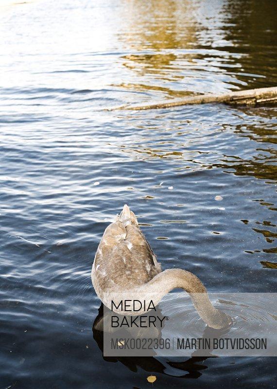Swan hiding head in the water