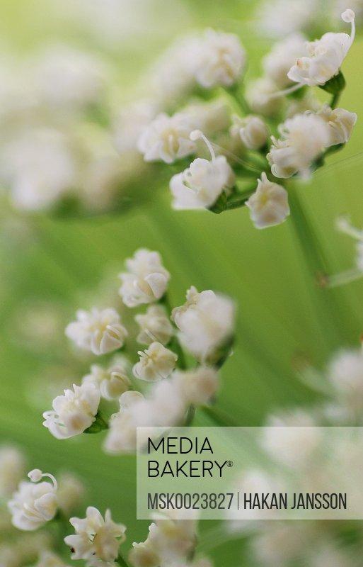 Ground-elder flowers