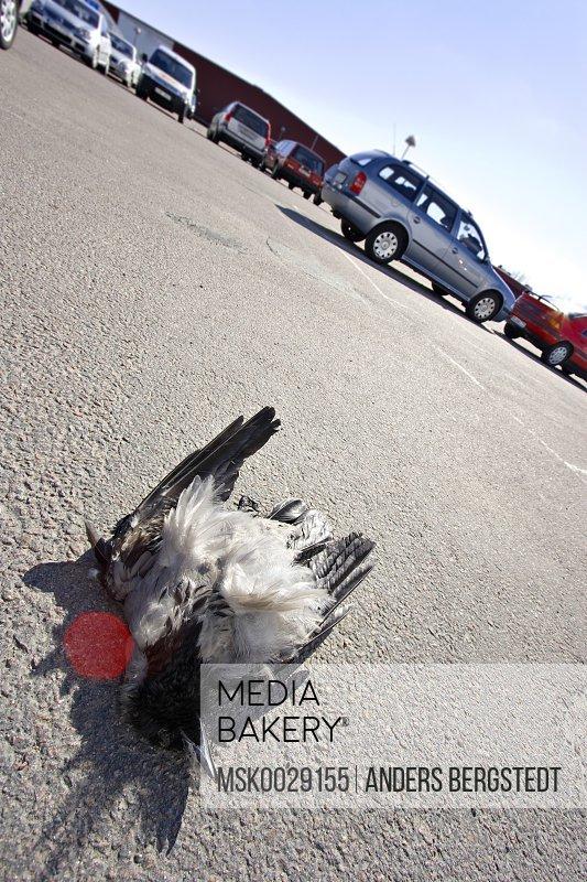 Dead bird on the parking lot