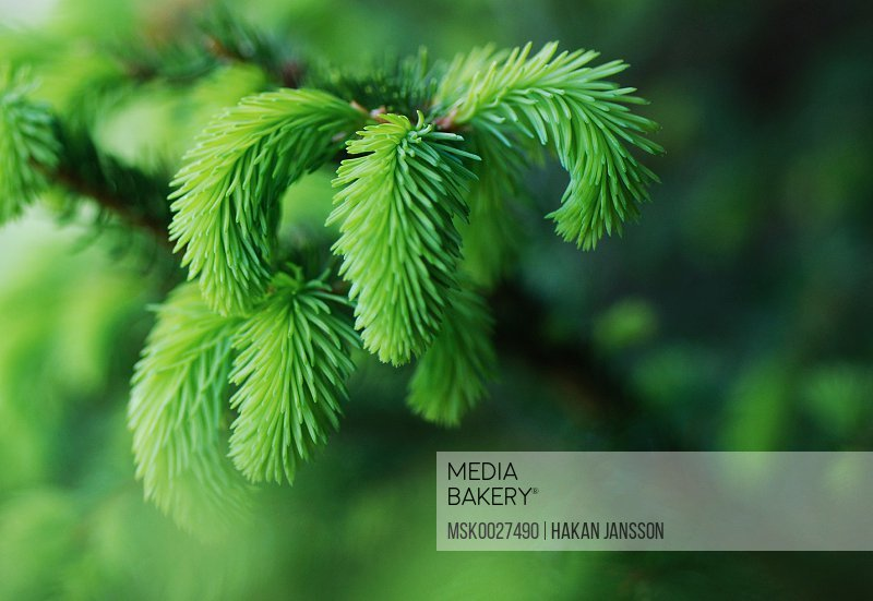 Selective focus of coniferous tree