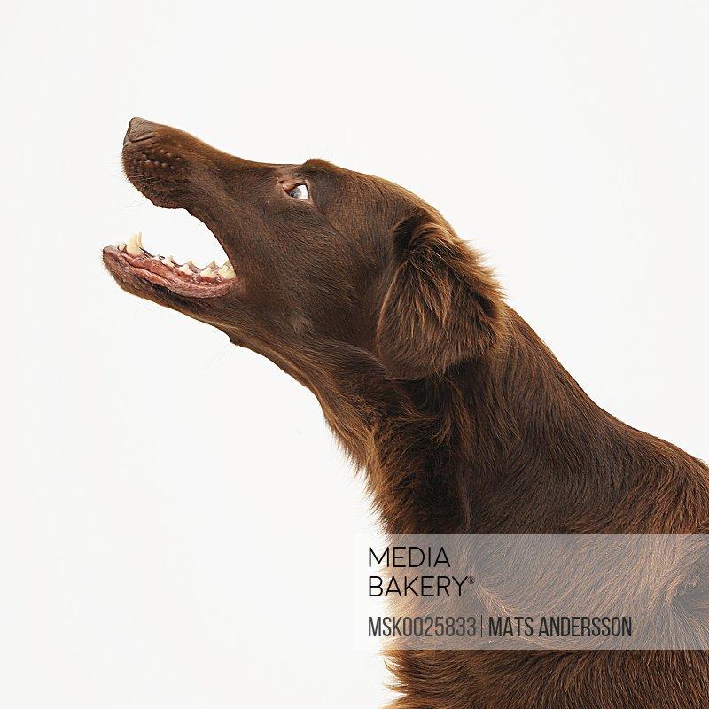 A brown dog barks