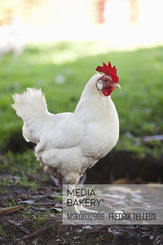Side view of hen standing on field