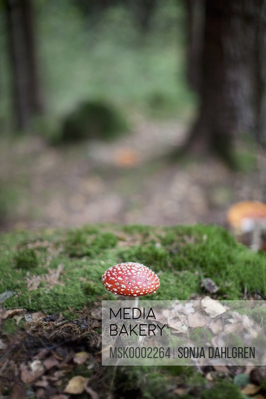 Detail of fly agaric mushroom in forest