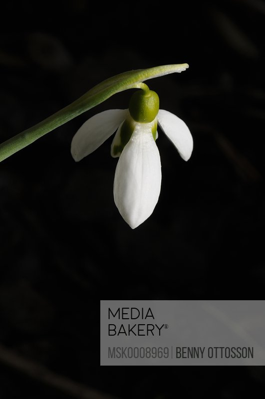 Closeup on snowdrop