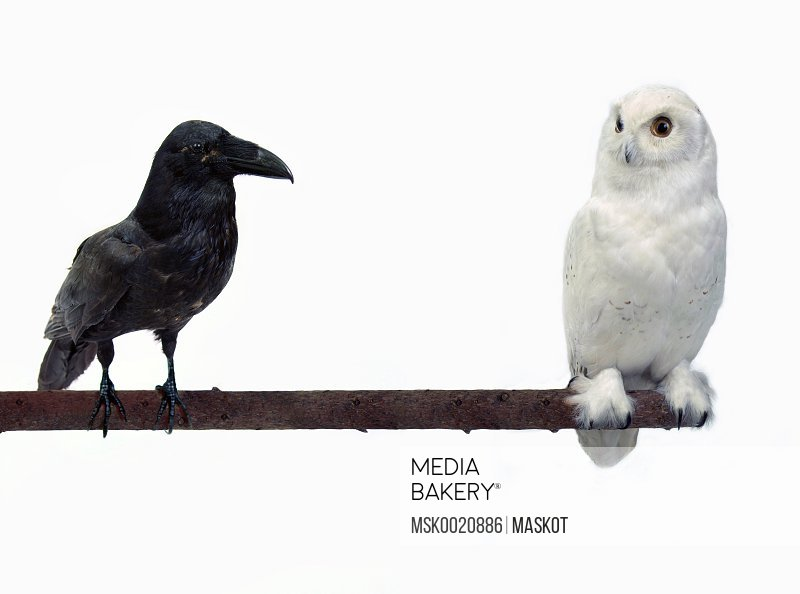 Raven and snowowl sitting on a branch