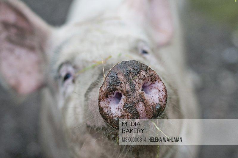 Close-up of pig's snout