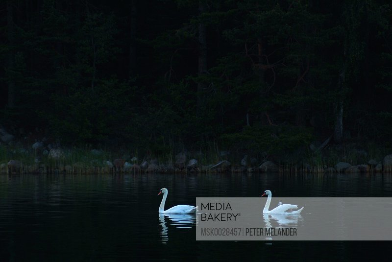 White swans in the dark