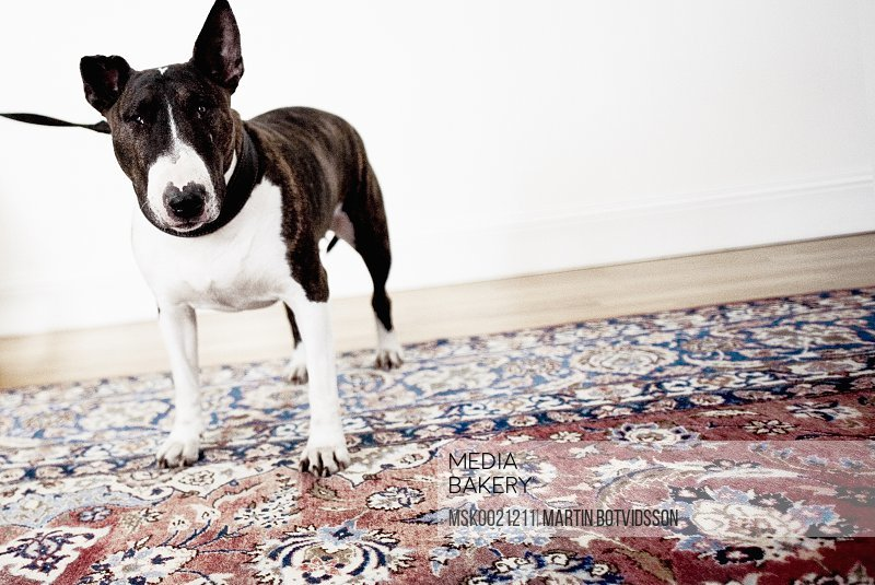 Bullterrier in a leash standing on a patterned carpet