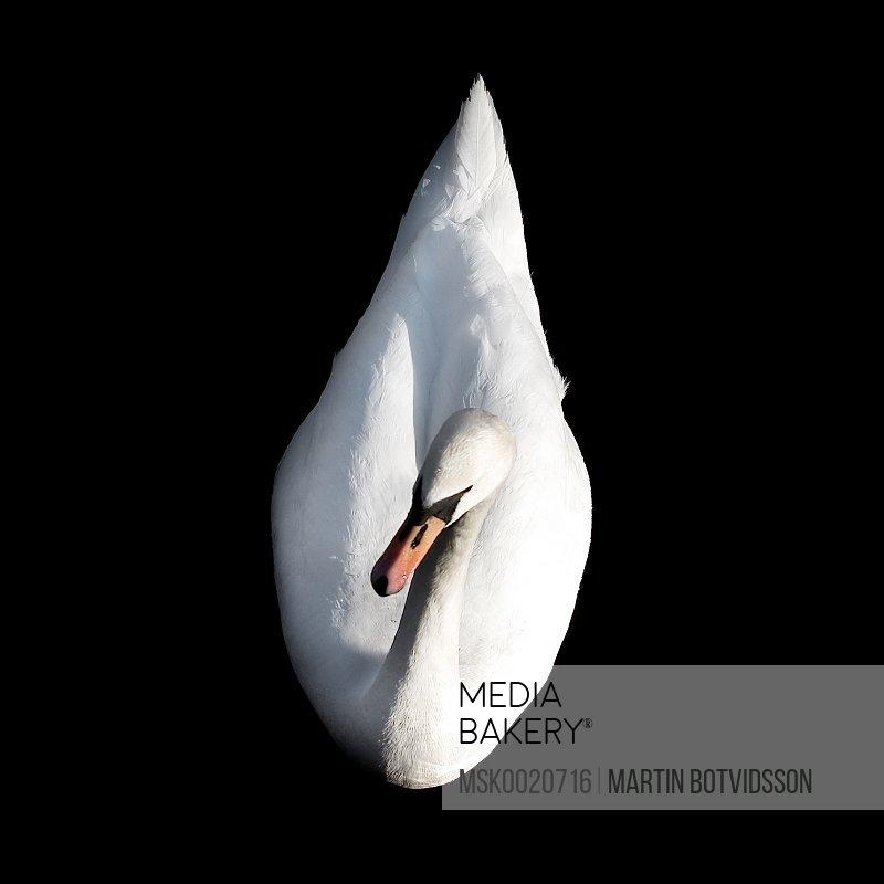 Swan swimming in dark waters