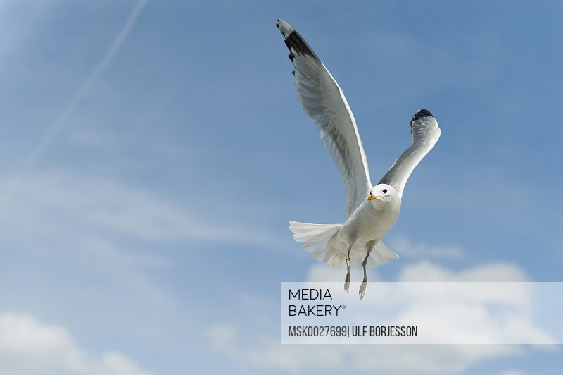 Seagull against blue sky