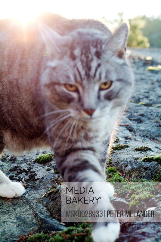 Grey cat sneaking
