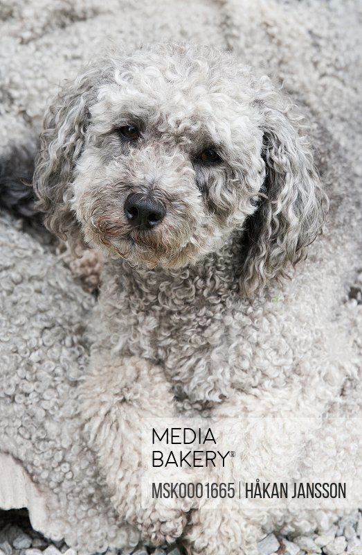 Portrait of hairy dog