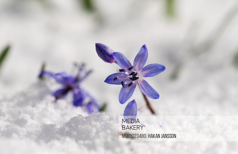 Small flowers in snow