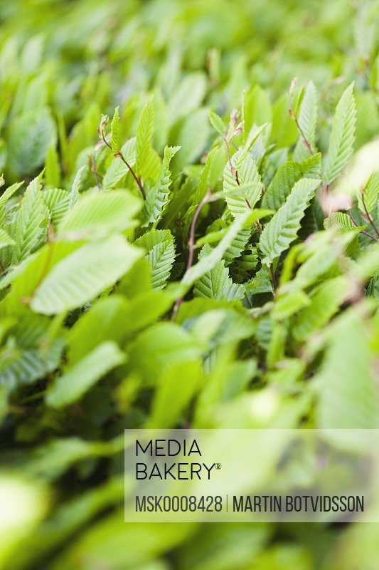 Green leaves reaching