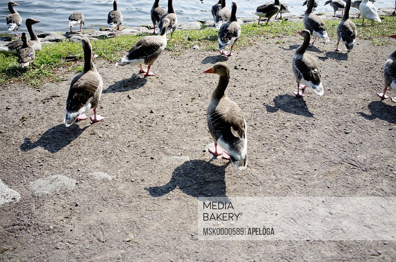 Large group of ducks near pond